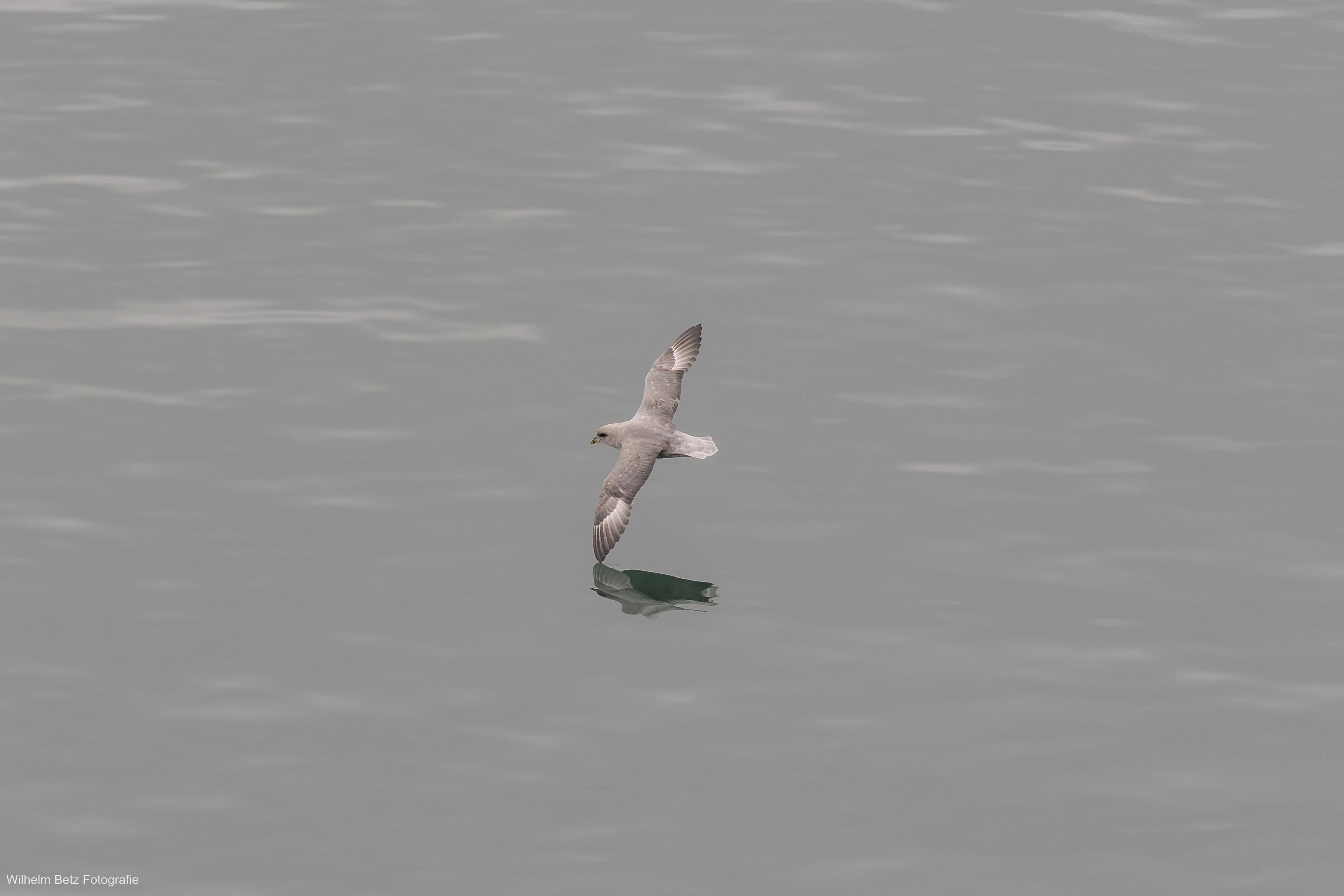 Ein Skua gleitet über das Meer