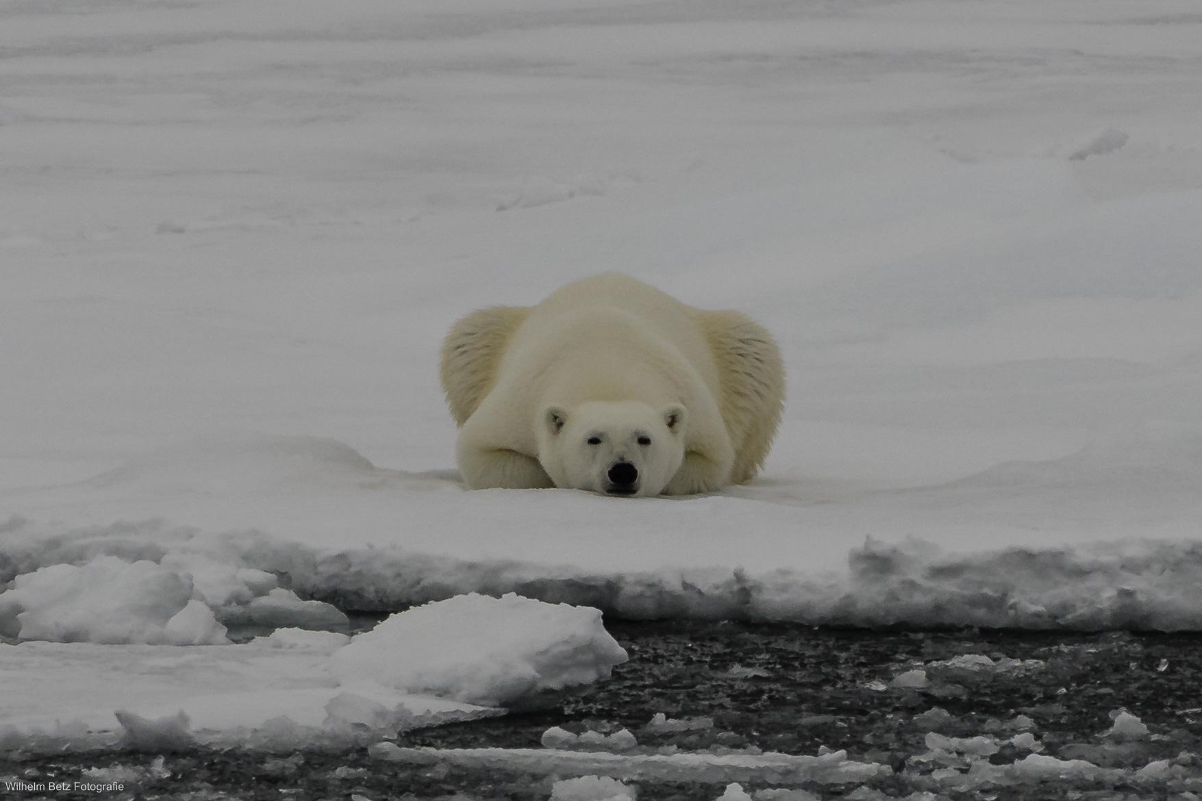 Ein Eisbär im Packeis läßt es ruhig angehen