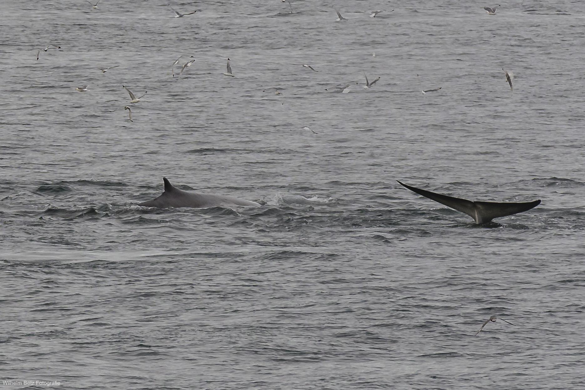 Ein Finnwal streckt uns seine Finne entgegen.